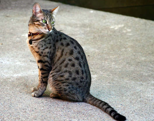 28. Which breed is the only naturally spotted domestic cat?
