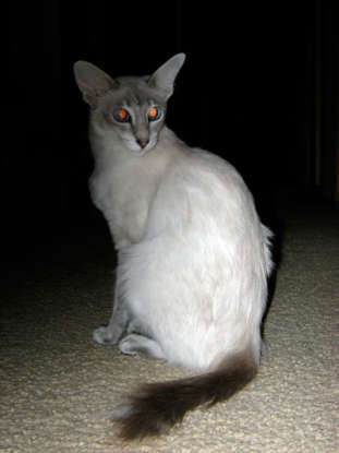 30. I am a longhair type of Siamese. Which cat breed am I?