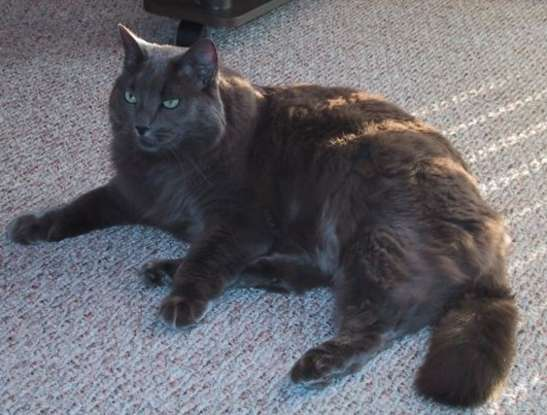31. I am the long haired variety of the Russian Blue. What cat breed am I?