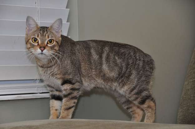 32. I am (jokingly!) said to be the offspring of a cat and a rabbit. Which cat breed am I?