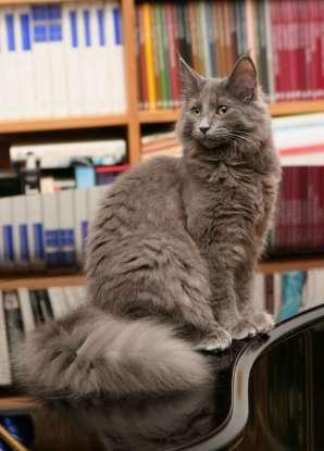 33. Which cat has a waterproof fur coat?