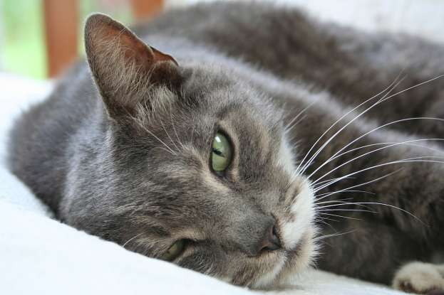 34. I am a descendant of seafaring cats. What cat breed am I?