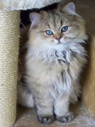 35. I am quiet, sweet, and originally from Mesopotamia. Which cat breed am I?