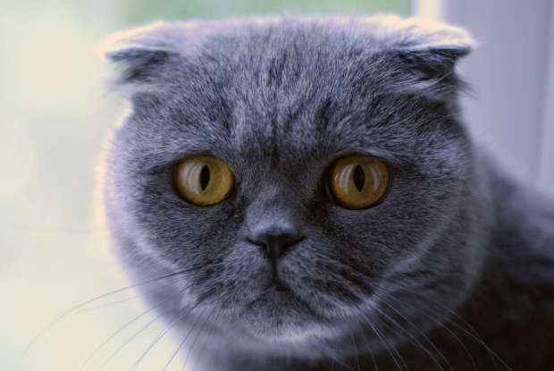 37. Which of the following is a lop-eared cat?