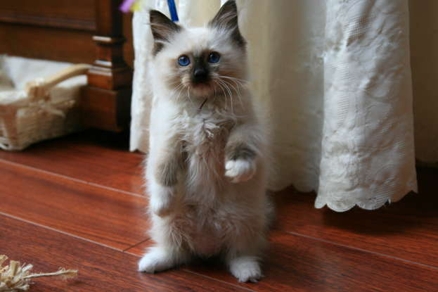 36. Which cat breed was developed in California in 1960?