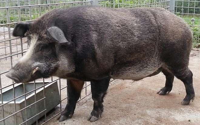 2. The Iron Age pig is a cross between which two animals?