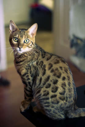 3. TheBengal cat is a hybrid of which two species?