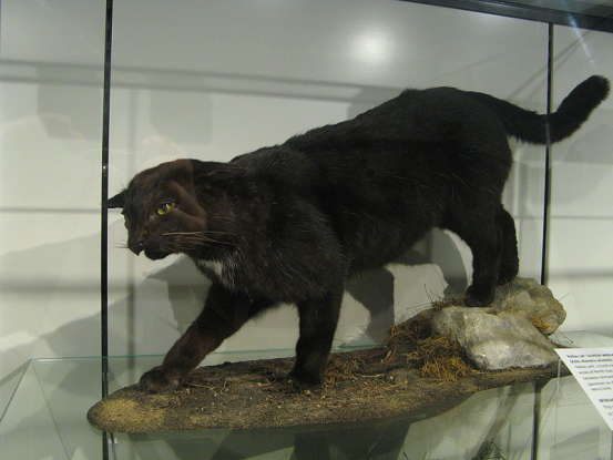 4. TheKellas cat is a cross between which two species?
