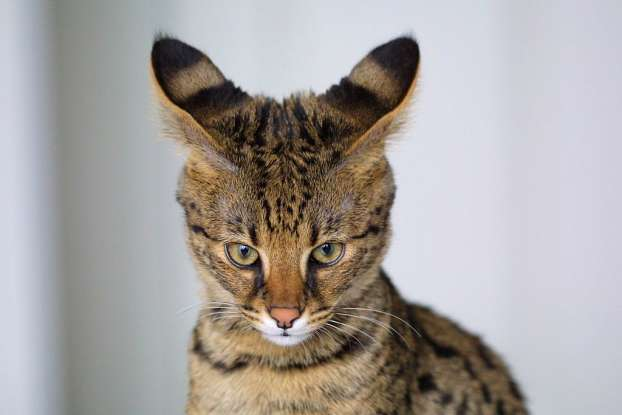 6. TheSavannah cat is a cross between which two species?