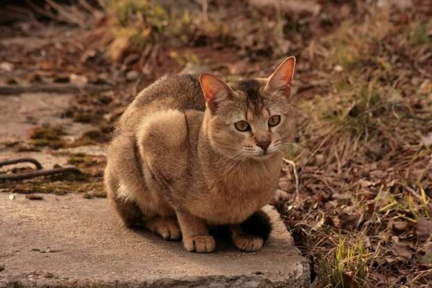 26. A chausie is a cross between which two species?