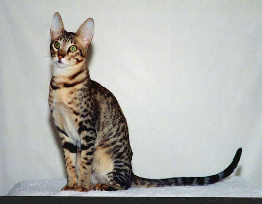 28. A Serengeti cat is the product of which two species?