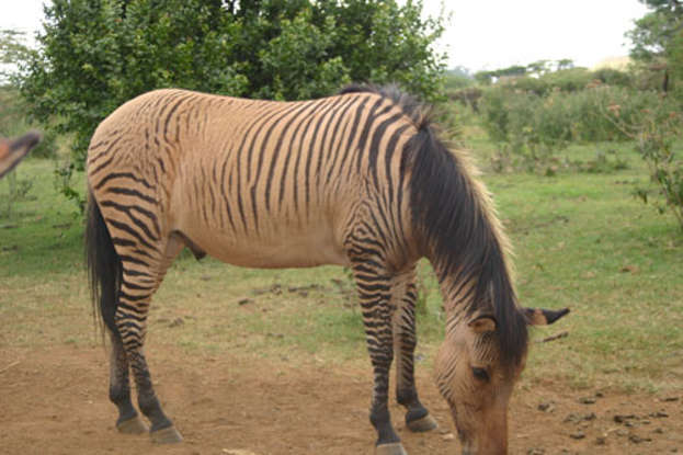10. The zebroid is a hybrid of which two species?