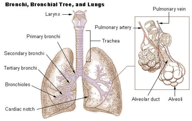 12. Asthma is primarily a disease of constriction/hyperreactivity of the airways (bronci). True or false?