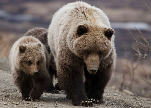 1. What other name is the grizzly bear often called?