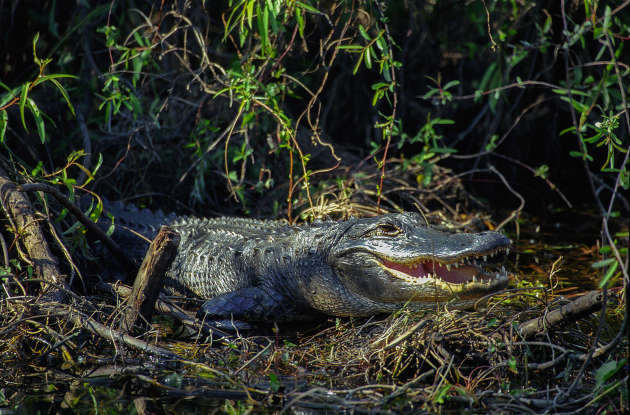 4. What is the habitat of the American alligator?