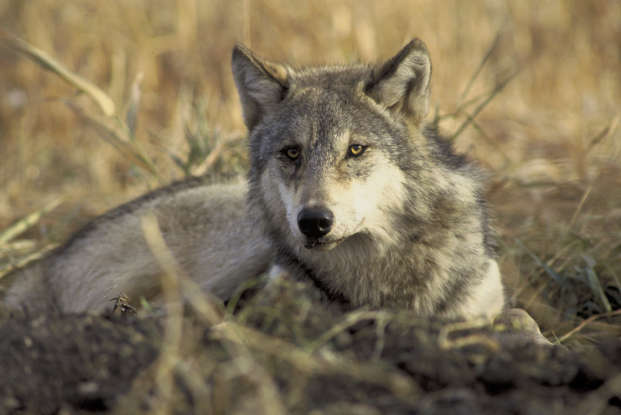 2. What is considered to be the largest wild canine in North America?