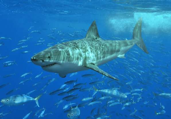 6. One third of all shark attacks are done by which species?