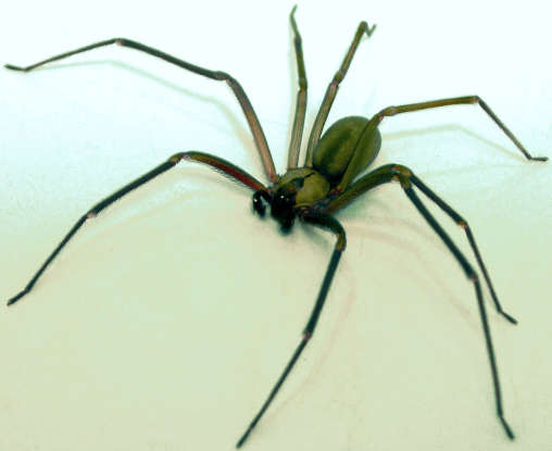 9. When will you start to feel the effects of the brown recluse spider