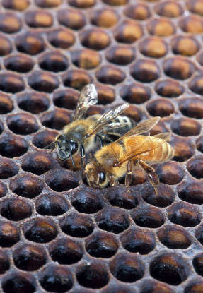 7. What bees are known as killer bees?