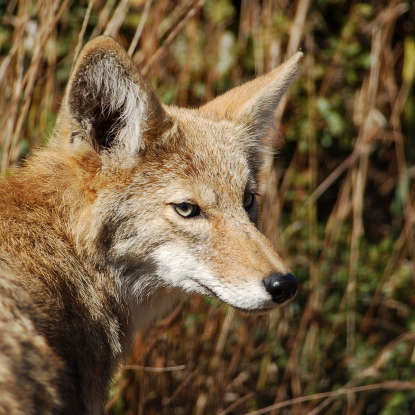 10. Though extremely rare, a coyote is most likely to kill a human in what manner?