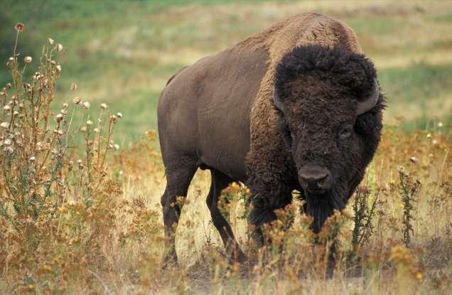 11. When are American bison most aggressive?