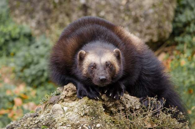 13. Which of these dangerous North American animals is also the name of a superhero?