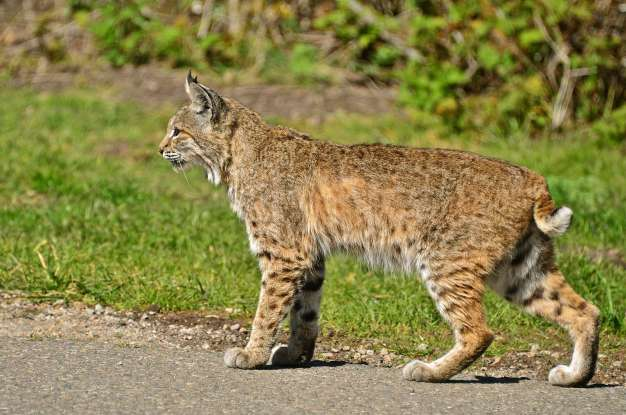 18. In which of the following situations are bobcats most dangerous to humans?