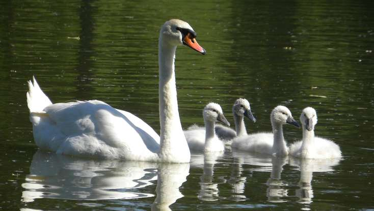 16. Why is the mute swan is considered to be one of the most aggressive and territorial birds?
