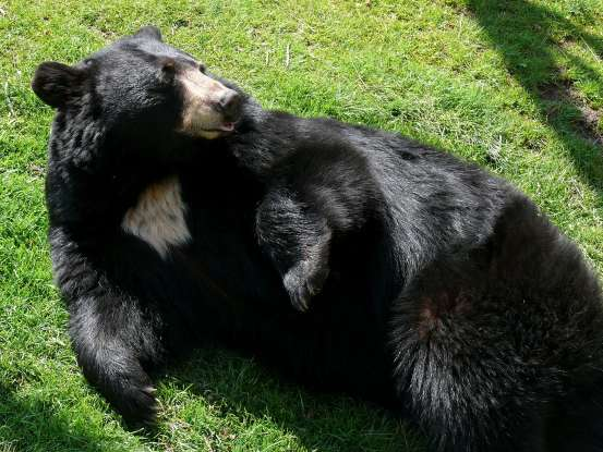 21. For what reason will black bears venture into populated areas?