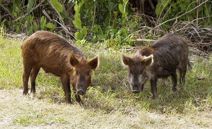 22. How can wild boars harm humans?