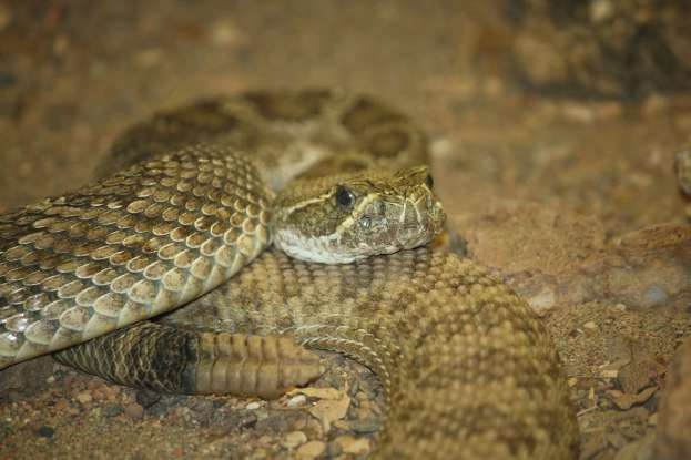 27. If you accidentally step on the prairie rattlesnake, what will most likely occur?
