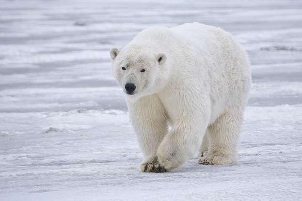28. How often do polar bears interact with humans?