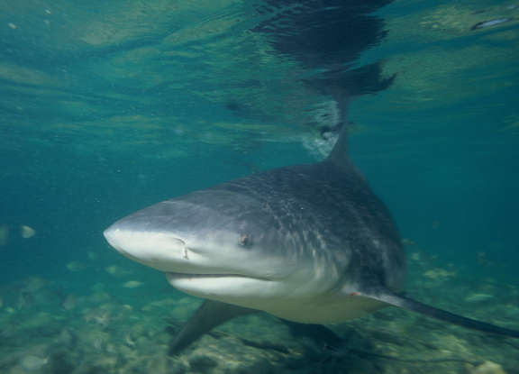 31. Which species of shark is responsible for most near-shore attacks on humans?