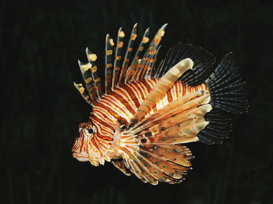 33. What is the average size of the lionfish?