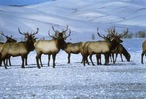 36. Is there any difference between male and female elks