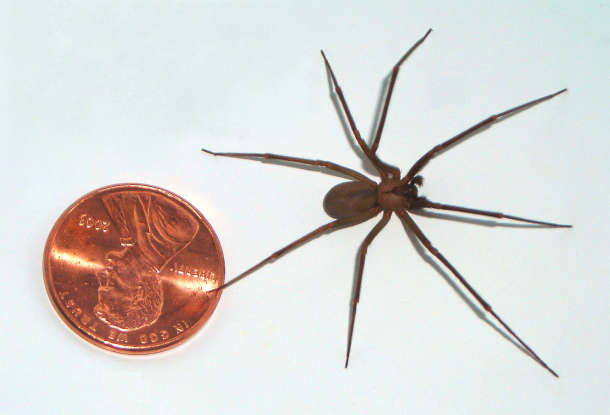 35. Besides the black widow, what is the one of the most dangerous spiders in North America?