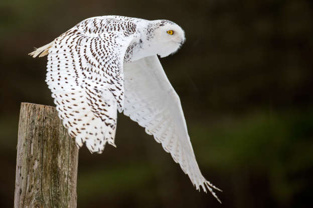 17. Which part of human body is best to hide when approaching the nest of a snowy owl?