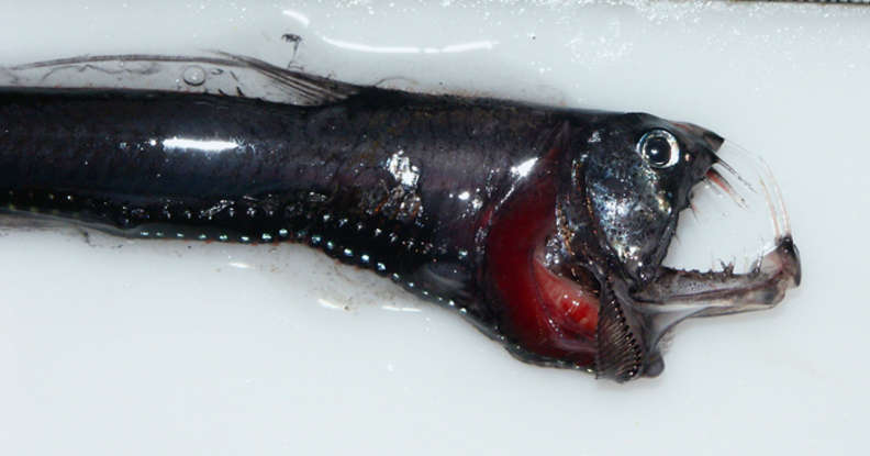 13. Which deepwater creature is this?
