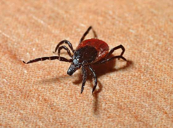 34. What group of animals do ticks belong to?