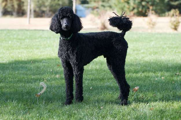 6. Which dog breed is this?