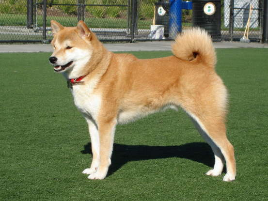 26. Which dog breed is this?