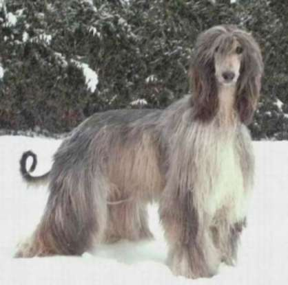 31. Which dog breed is this?