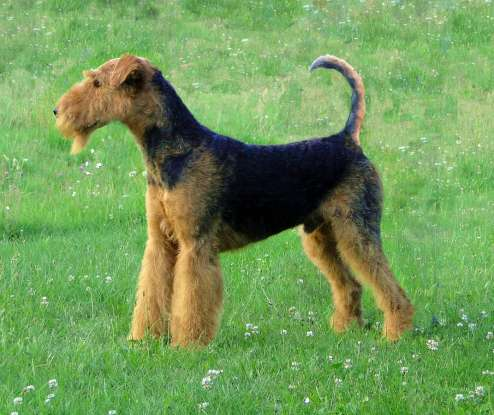 33. Which dog breed is this?