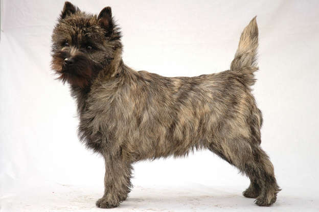 35. Which dog breed is this?