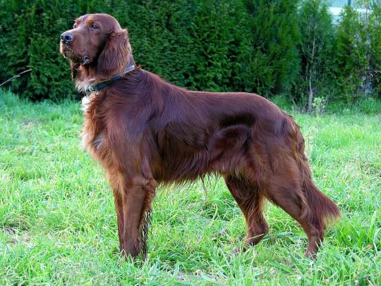 36. Which dog breed is this?