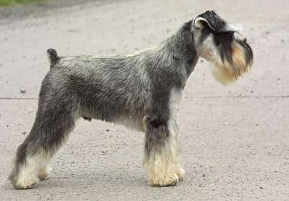 49. Which dog breed is this?