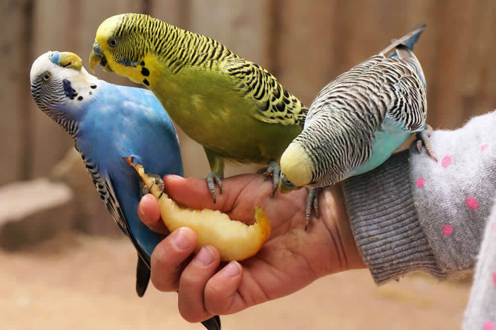 Three colorful budgerigars fight over an apple slice
