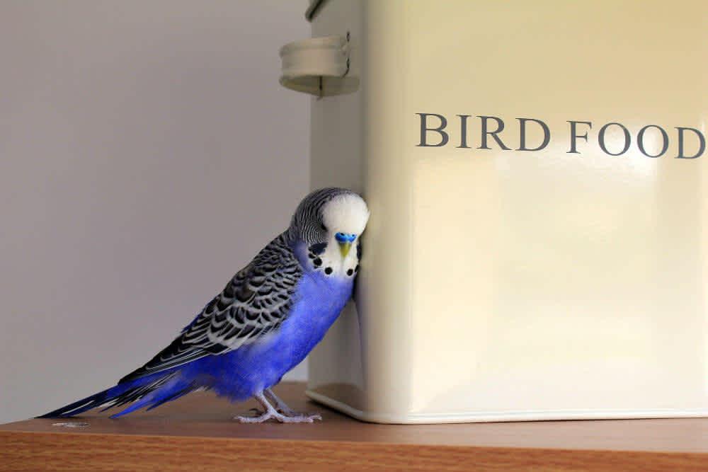 A blue budgie cuddles against a pale bird food tin