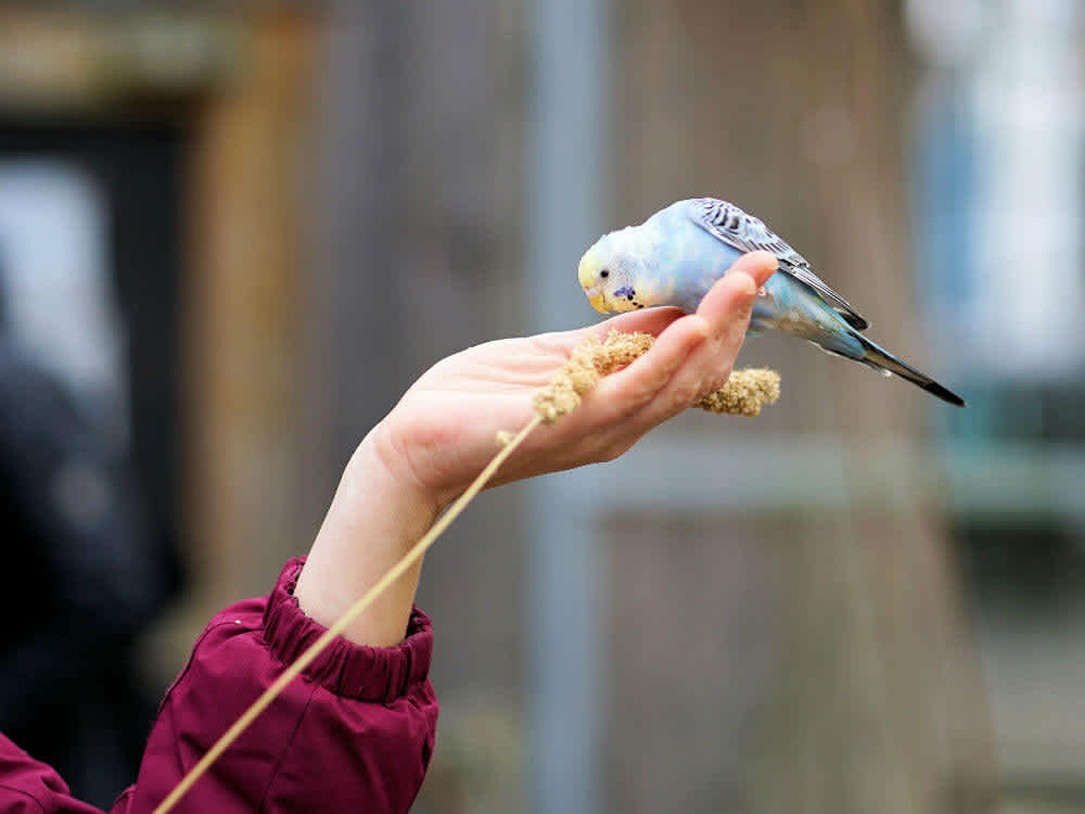Blue and yellow budgie eating out of a hand