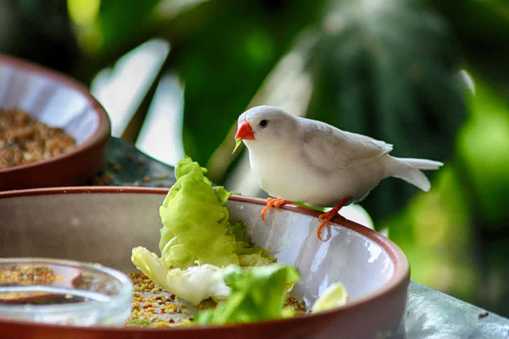Light colored finch eating lettuce and seed from a bowl